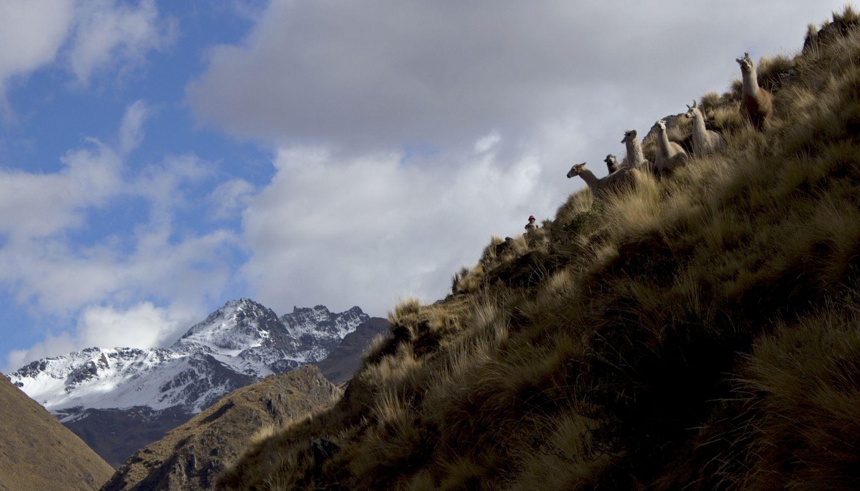 Lamas, Sacred Valley, Peru